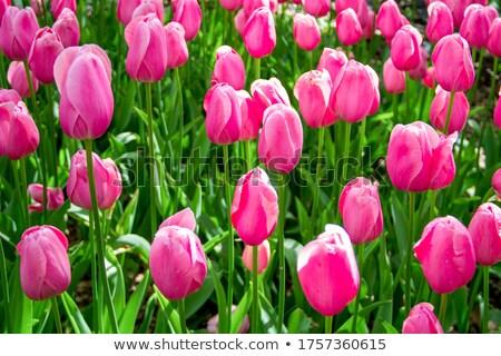 Сток-фото: листьев · свежие · зеленый · весны · макроса · капли