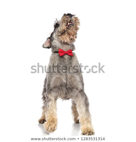 playful schanuzer with bowtie pants and looks up while stepping Stock photo © feedough