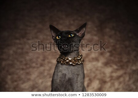 head of shocked metis cat with necklace looking up Stock photo © feedough