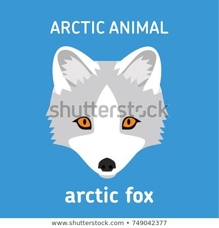 Cute arktyczny Fox polarny ikona odizolowany Zdjęcia stock © MarySan
