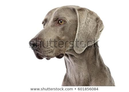 Retrato adorable perro aislado negro oído Foto stock © vauvau