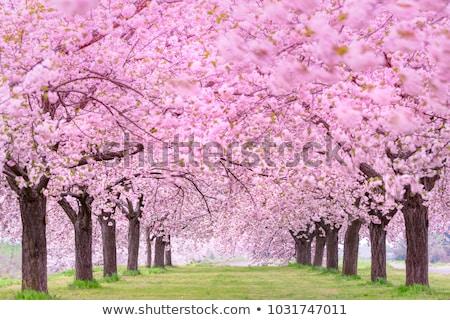 Sakura ağaç pembe renk yeşil Stok fotoğraf © Melnyk