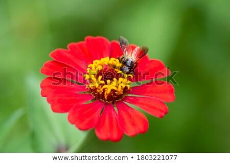 Lavoratore ape polline fiore raccolta rosa Foto d'archivio © sherjaca