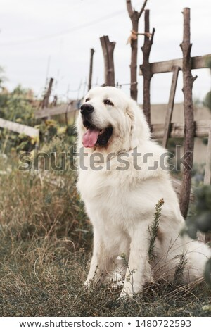 Stock photo: Polish Tatra Sheepdog