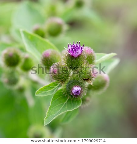 burdock flowers (arctium minus) Stock photo © smithore