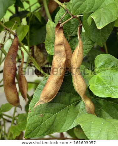 ripe beans in anticipation of the harvest Stock photo © victor1978