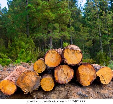 Fenyőfa Buenos Aires ipar Tenerife tavasz fa Stock fotó © lunamarina