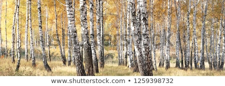birch trees in fall stock photo © elenaphoto
