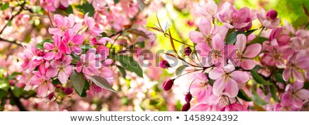Crab apple blossom and flower buds stock photo © sarahdoow