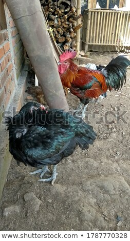 Gallina cerca rail pollo granja dorado Foto stock © rghenry