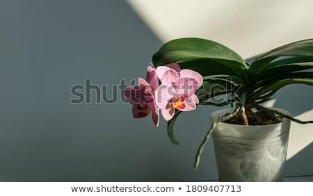 Rózsaszín orchidea gyönyörű fehér közelkép kert Stock fotó © taden