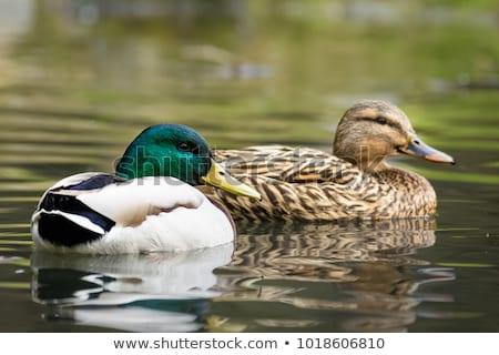 Green duck Stock photo © michaklootwijk