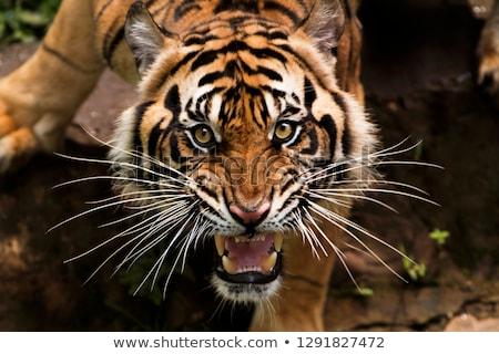 Tijger boos grond dier asia Stockfoto © KMWPhotography