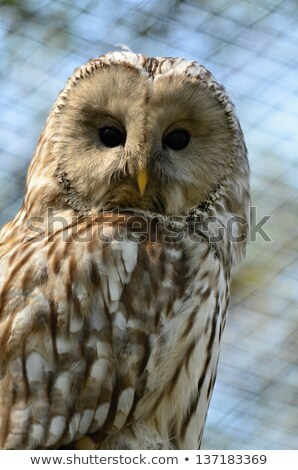ural owl with rat Stock photo © taviphoto