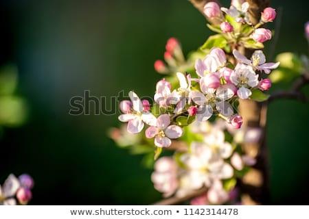 開花 · 写真 · 曇った · ソフト · 照明 · 許可された - ストックフォト © ironstealth