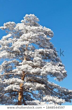деревья лесу покрытый мороз солнце природы Сток-фото © bendzhik