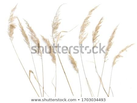 Hierba naturaleza fondo belleza campo planta Foto stock © teerawit