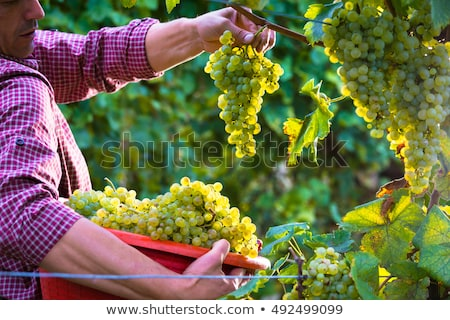 jeans · uvas · homem · colheita · vinha - foto stock © rastudio