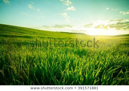 verde · campo · di · grano · blu · nuvoloso · cielo · estate - foto d'archivio © dmitroza
