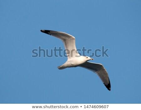 Vlucht volwassen donau delta Roemenië natuur Stockfoto © taviphoto