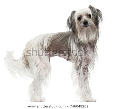 Chińczyk psa portret szary piękna smutne Zdjęcia stock © vauvau
