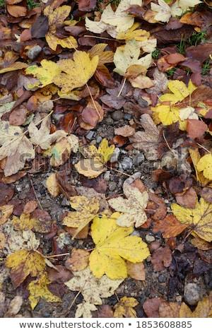 fallen autumn leaves on the rocky ground stock photo © ozgur