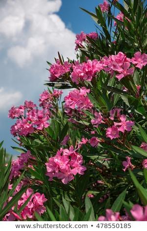 Beautiful pink nerium oleander flowers against blue sky Stock photo © stevanovicigor