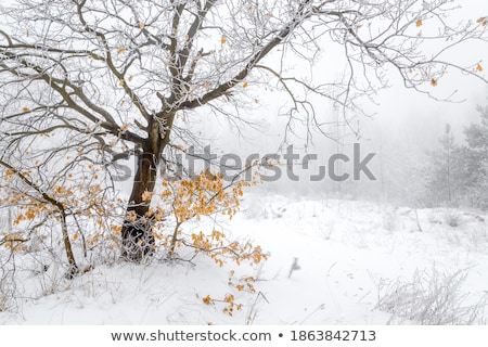yellow oak leaves in winter rime stock photo © justinb