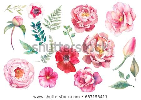 watercolor peony flower stock photo © kostins