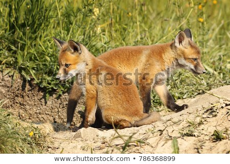 two eurasian fox cubs in natural habitat Stock photo © taviphoto