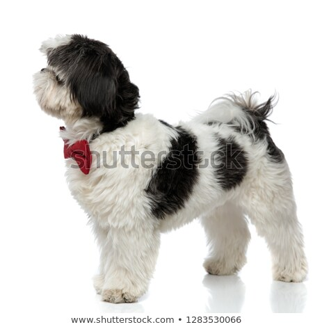 side view of black and white shih tzu wearing bowtie Stock photo © feedough