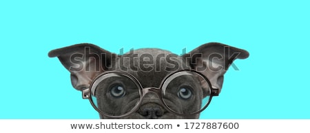 Stock photo: blue eyed american bully looking shy