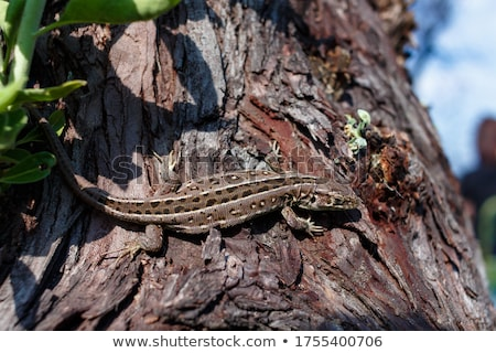 detail of  green lizard in natural environment Stock photo © taviphoto
