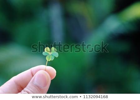 El yeşil kâğıt yonca Stok fotoğraf © dolgachov
