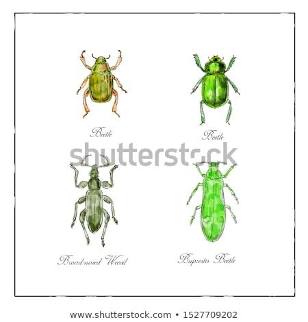 Beetles Vintage Collection Duotone on White background Stock photo © patrimonio