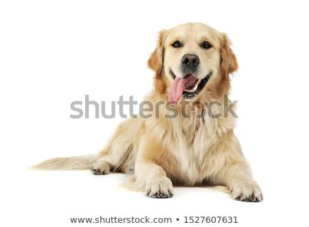 çok güzel golden retriever oturma gri köpek Stok fotoğraf © vauvau