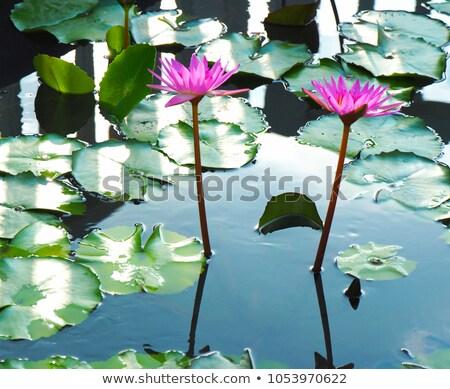 lotus or watelily a water plant stock photo © koratmember