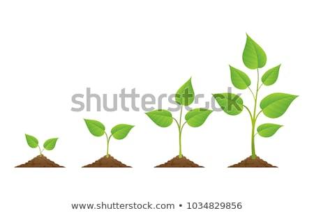 Sapling Growing From Soil Stock photo © Lightsource