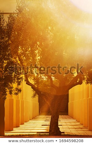 Stock photo: olive tree trunk 07