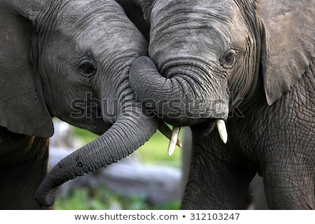 fighting elephants in africa stock photo © prill