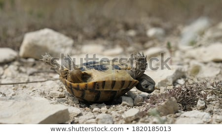Turtle upside down Stock photo © vadimmmus