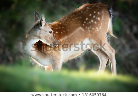Young Fallow Deer Head backlit Stock photo © bobkeenan