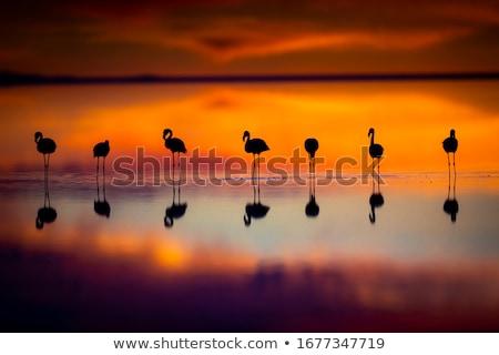 flamingo at sunset stock photo © tab62