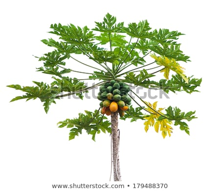 Many papaya on tree Stock photo © Bunwit