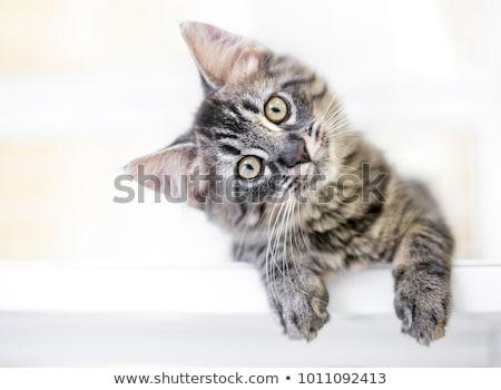 Meraklı kedi genç bakmak kediler Stok fotoğraf © MKucova