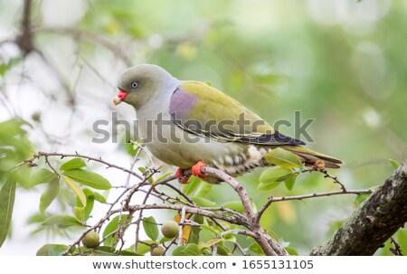 African Green Pigeon (Treron calva) Stock photo © dirkr