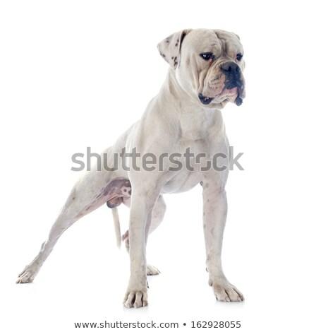 Large guard dog Stock photo © Supertrooper