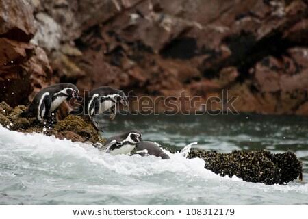 Humboldt penguin at Islas Ballestas in Peru Stock photo © Hofmeester