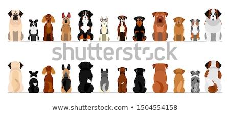 Vergadering cute bokser hond portret dier Stockfoto © leonido