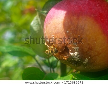 Fly on a ripe apple on the branch Stock photo © sarahdoow